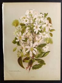 Hetley Flowers of New Zealand 1888 Botanical. Common Large Flowered Clematis 1